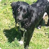 Adopt A Pet :: Minerva (mom)-Zp litter - Livonia, MI
