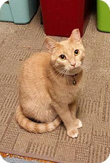 Domestic Shorthair Cat for adoption in Jeannette, Pennsylvania - Amber