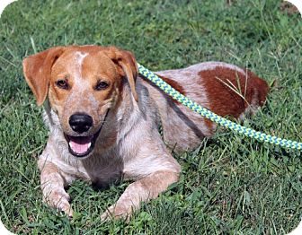 Redtick Coonhound Mix Puppy for adoption in Atlanta, Georgia - Patrick