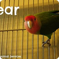 Adopt A Pet :: Pear - Hamilton, ON