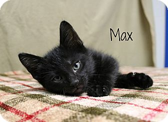 Domestic Shorthair Kitten for adoption in Melbourne, Kentucky - Max