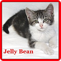 Domestic Mediumhair Kitten for adoption in Cuba, Missouri - Jelly Bean
