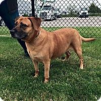 Boxer/Terrier (Unknown Type, Medium) Mix Dog for adoption in Columbus, Ohio - Sally