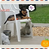 Jack Russell Terrier/Australian Cattle Dog Mix Dog for adoption in Weeki Wachee, Florida - Luca