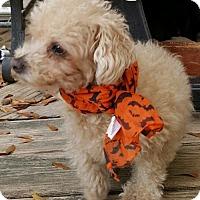 Toy Poodle Dog for adoption in Baileyton, Alabama - Cuddles