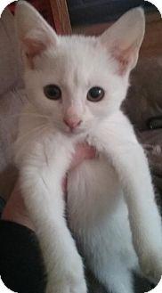 Domestic Shorthair Kitten for adoption in Devon, Pennsylvania - LA-white kittens