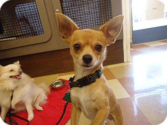 Chihuahua Dog for adoption in Berkeley, California - Paloma