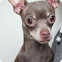 Chihuahua Dog for adoption in Edina, Minnesota - Sarabi  D161860