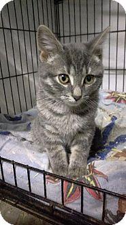 Domestic Shorthair Kitten for adoption in Brainardsville, New York - Isaac