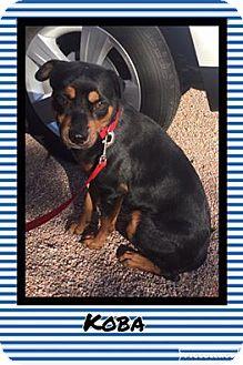 Rottweiler Mix Dog for adoption in Scottsdale, Arizona - Koba