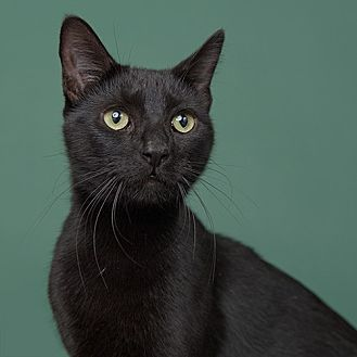Domestic Shorthair Cat for adoption in Wilmington, Delaware - Giblet