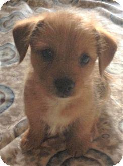 Beagle/Terrier (Unknown Type, Small) Mix Puppy for adoption in Lexington, Kentucky - Alfalfa