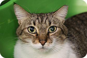 Domestic Shorthair Cat for adoption in Sarasota, Florida - Molly