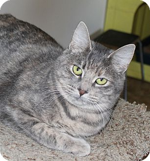 American Shorthair Cat for adoption in Priest River, Idaho - Ellen