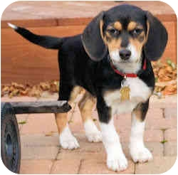 Beagle Mix Puppy for adoption in Novi, Michigan - Dodge