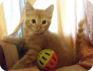 Ragdoll Kitten for adoption in Ennis, Texas - Shiloh