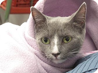 Domestic Shorthair Cat for adoption in Port Republic, Maryland - Skylar