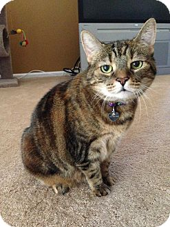 Manx Cat for adoption in Horsham, Pennsylvania - Chloe