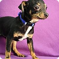 Adopt A Pet :: Dom Perignon - Broomfield, CO
