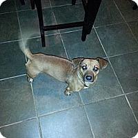 Adopt A Pet :: Hippie - Freeport, NY