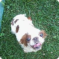 Adopt A Pet :: Addy - Cumberland, MD