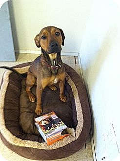 Rhodesian Ridgeback/Hound (Unknown Type) Mix Dog for adoption in Fair Oaks Ranch, Texas - Ollie