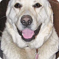 Great Pyrenees/Labrador Retriever Mix Dog for adoption in Beacon, New York - General in NY - pending