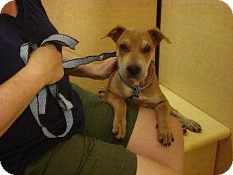 Shar Pei Mix Dog for adoption in Tonopah, Arizona - lucy