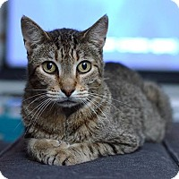 Domestic Shorthair Cat for adoption in St. Louis, Missouri - Dr. Spaceman