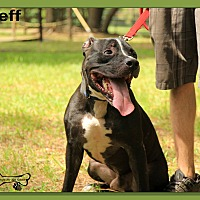 Pit Bull Terrier Mix Dog for adoption in Sarasota, Florida - Jeff