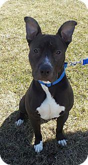 Pit Bull Terrier Mix Dog for adoption in Crete, Illinois - Maximus