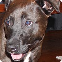 Adopt A Pet :: Sherlock - Chapel Hill, NC