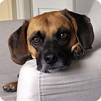 Adopt A Pet :: Ares - Arlington, VA