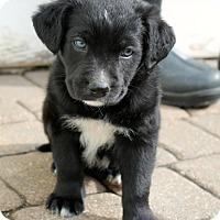 Adopt A Pet :: Yosemite - Mt. Prospect, IL