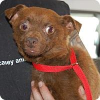 Adopt A Pet :: Tamarin - Brooklyn, NY
