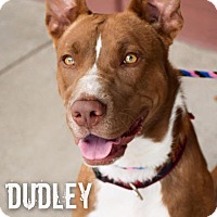 Shepherd (Unknown Type)/Pit Bull Terrier Mix Dog for adoption in DFW, Texas - Dudley