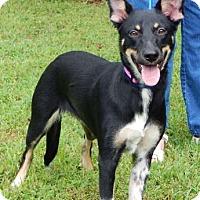 German Shepherd Dog/Shepherd (Unknown Type) Mix Dog for adoption in SUSSEX, New Jersey - Phoenix (35 lb) Video!