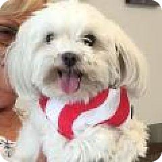 Maltese Dog for adoption in Corona, California - Mr. Charlie Purebred Maltese