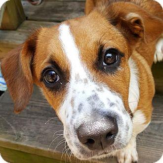 Pembroke Welsh Corgi/Basset Hound Mix Dog for adoption in Westmont, Illinois - ROMEO