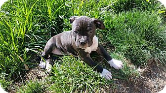 Pit Bull Terrier Puppy for adoption in Livermore, California - star