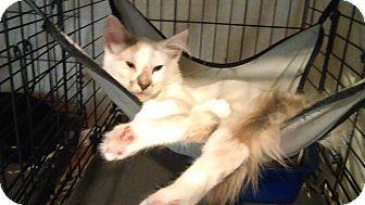 Domestic Longhair Kitten for adoption in Bayside, New York - Penelope
