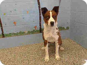 Australian Shepherd/Australian Cattle Dog Mix Dog for adoption in San Bernardino, California - URGENT on 10/11 SAN BERNARDINO