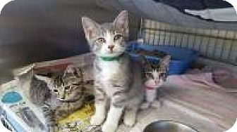 Domestic Shorthair Kitten for adoption in Danville, Indiana - Chico