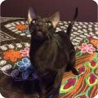 Siamese Cat for adoption in Shelbyville, Kentucky - Dexter