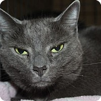 Russian Blue Cat for adoption in Louisville, Kentucky - Emma