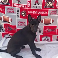 Shepherd (Unknown Type) Mix Puppy for adoption in East Sparta, Ohio - Potter
