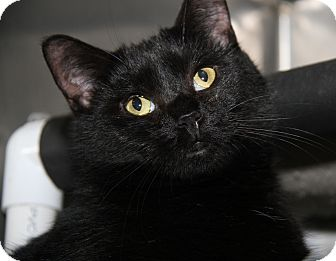 Domestic Shorthair Cat for adoption in Marietta, Ohio - Katie Purry (Spayed)-New Photo