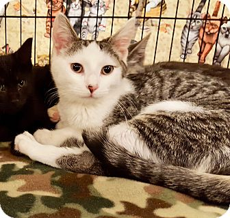 Domestic Shorthair Kitten for adoption in Colmar, Pennsylvania - Chase