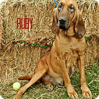 Bloodhound Dog for adoption in Lawrenceburg, Tennessee - Ruby