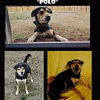 Adopt A Pet :: Polo - Madison, AL